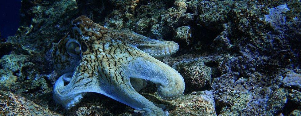Octopus on a rock underwater