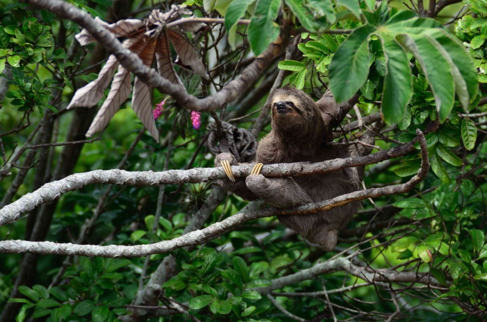 sloth sitting in a tree, Image © Kleber Varejão Filho on Unsplash