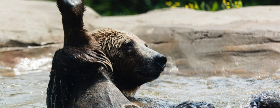Bear in a pool of water in a zoo, holding its leg up, Image © Ryan Grewell on Unsplash