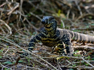 large lizard in undergrowth, Image © Tomasso Urli on Unsplash