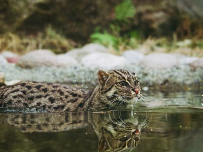 fishing cat in the water in a zoo, Image © Frida Bredesen on Unsplash