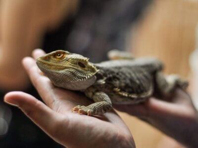 Bearded dragon sat on person's hand, Image © Giu Vicente on Unsplash