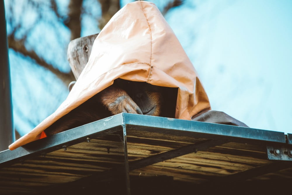 orangutan hiding under a sheet in the zoo, Image © Jack Cain in Unsplash