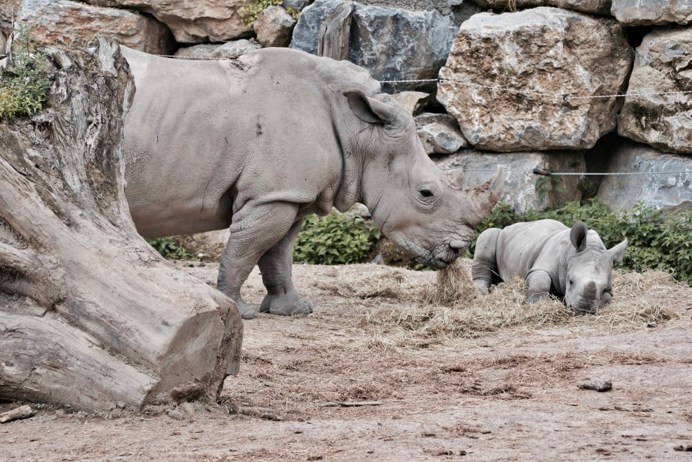 Adult rhino and calf in a zoo enclosure, Image © Sarah Stockman on Unsplash