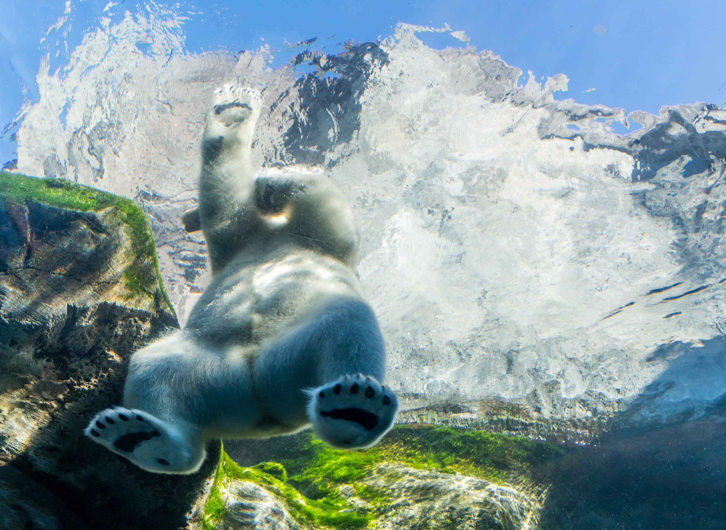 polar bear swims in a pool, Image © Eva Blue on Unsplash
