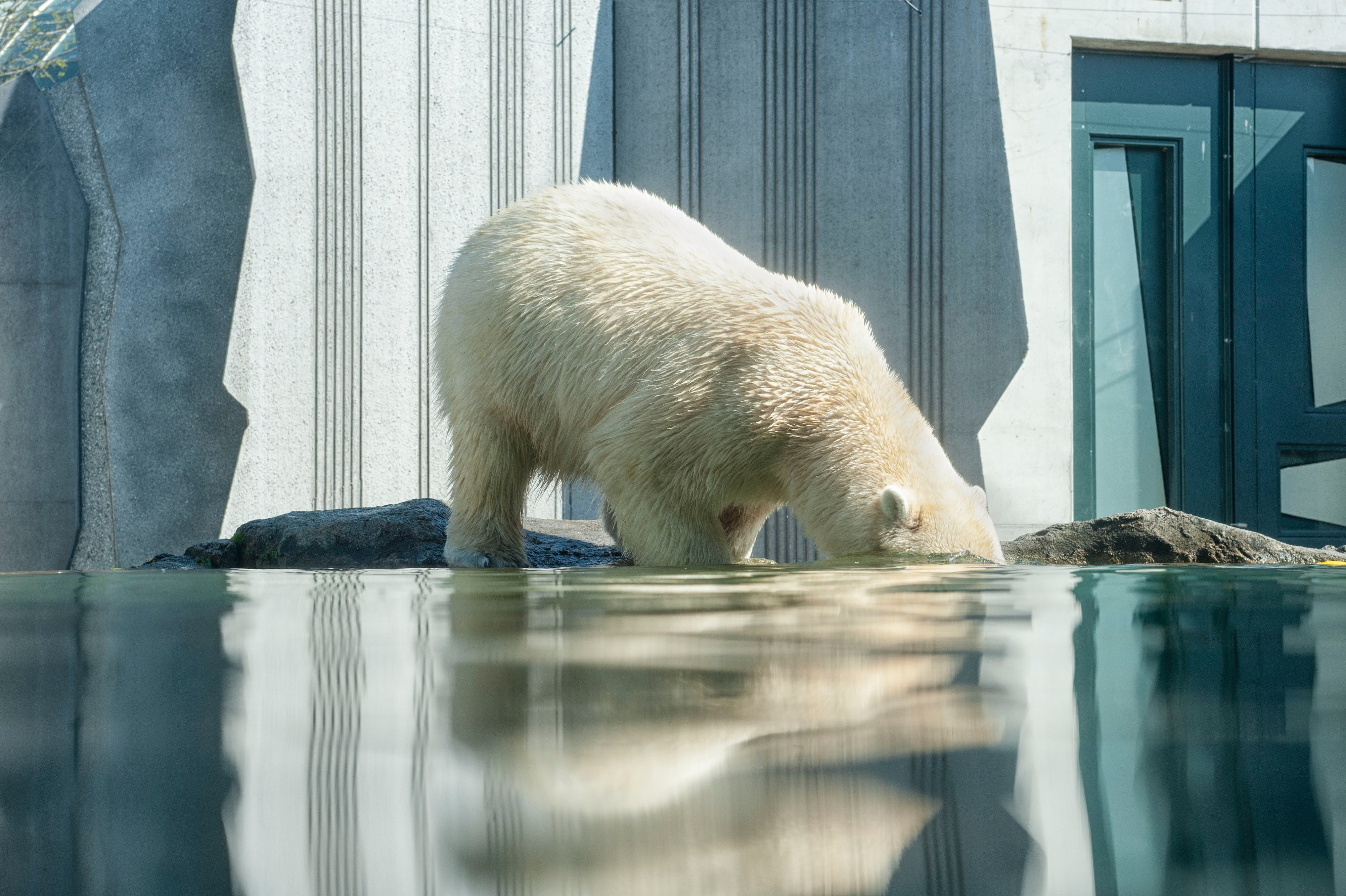 polar bear with its head in a pool of water in a zoo, Image © Jacqueline Godany on Unsplash