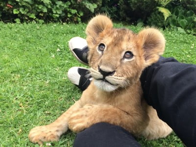 lion cub, Image source: www.bucketlist.org
