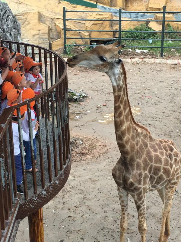 Giraffe in zoo enclosure