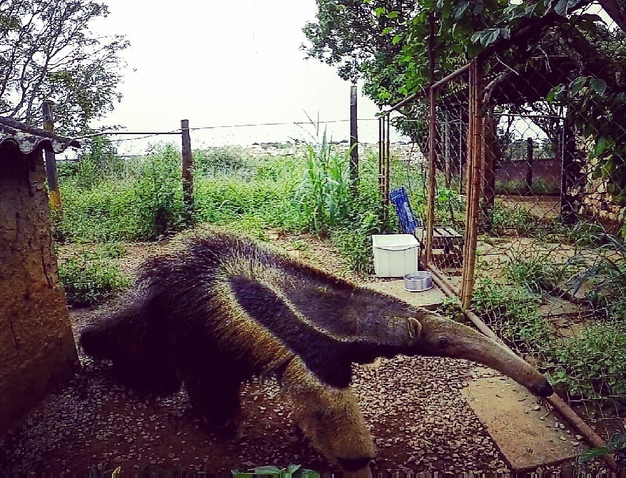 Giant anteater in zoo enclosure