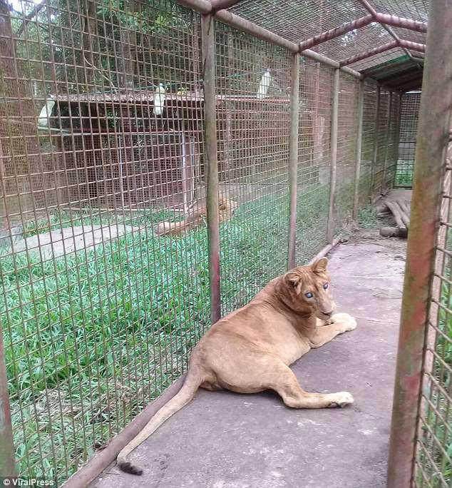 Lion in a zoo enclosure