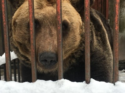 Captive bear in a cage in Japan