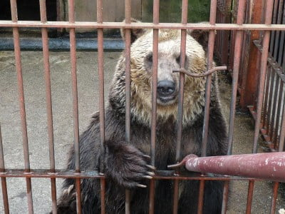 Captive brown bear in a facility in Japan
