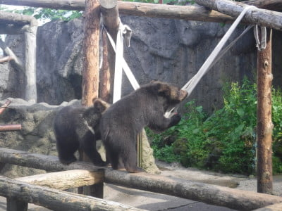 bears playing in a Japan bear park
