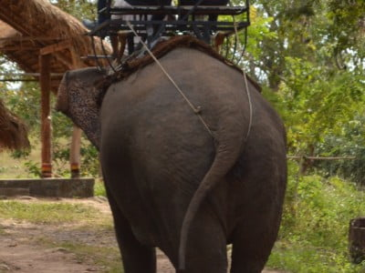 Tourists riding a captive elephant in Vietnam