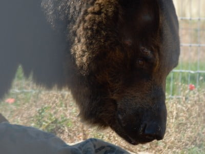 Captive brown bear in rehabilitation enclosure at zoo