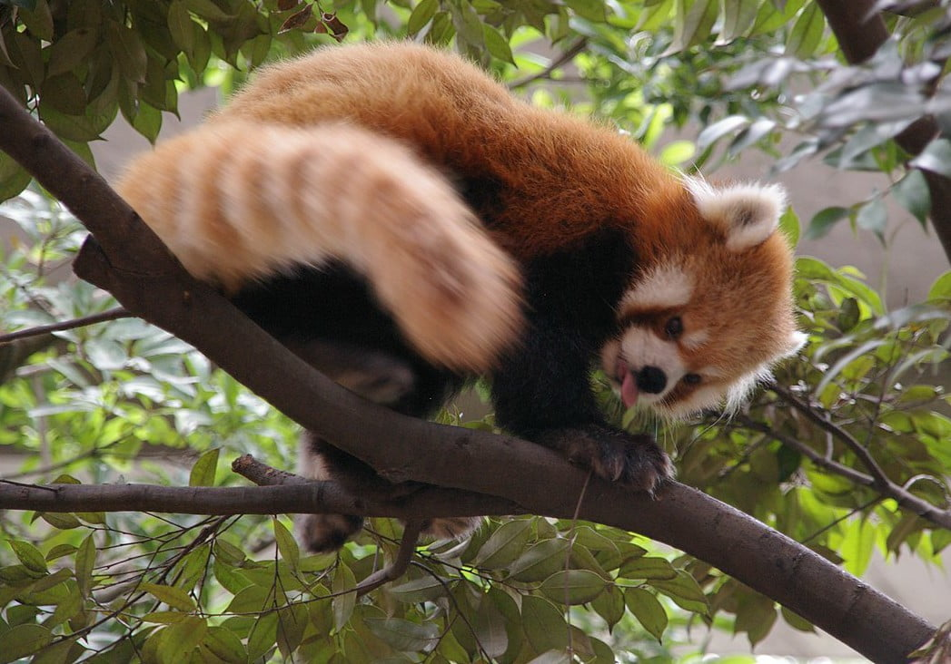 A red panda climbing a tree in its zoo enclosure, Image © Pelican from Tokyo, Japan [CC BY-SA 2.0] via Wikimedia Commons