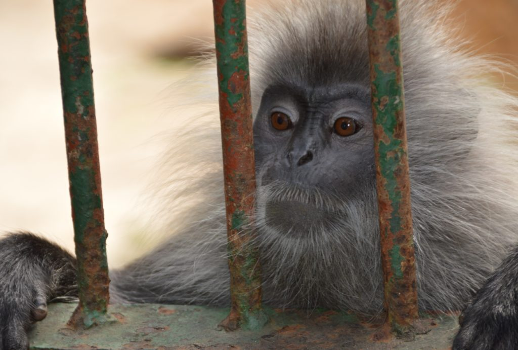 Monkey sitting at the bars of its cage in a zoo