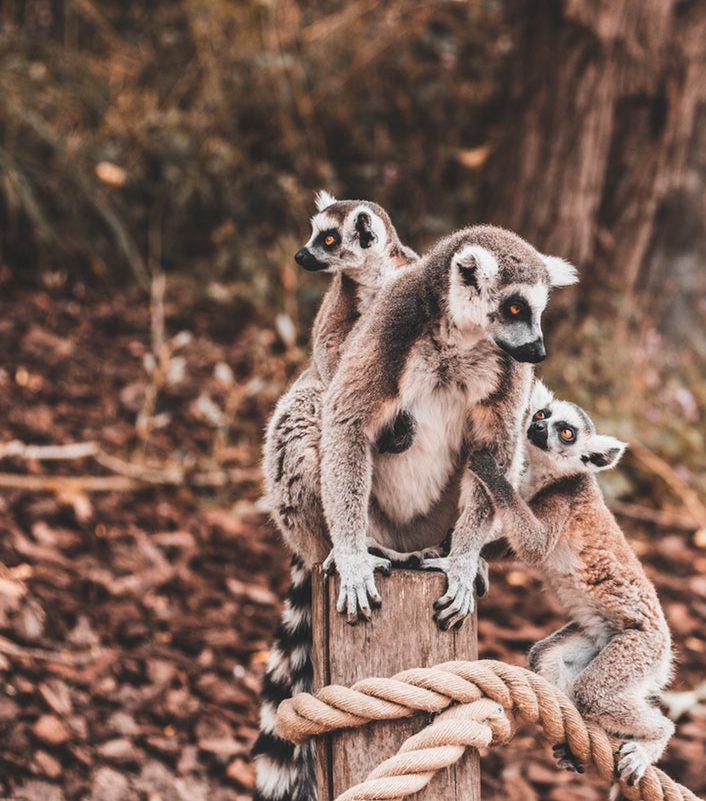 Three lemurs sitting on a tree trunk, Image © Roman Laschov on Unsplash
