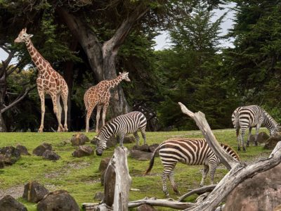 Giraffe and zebras in a zoo enclosure paddock, Image © Nikolay Tchaouchev on Unsplash