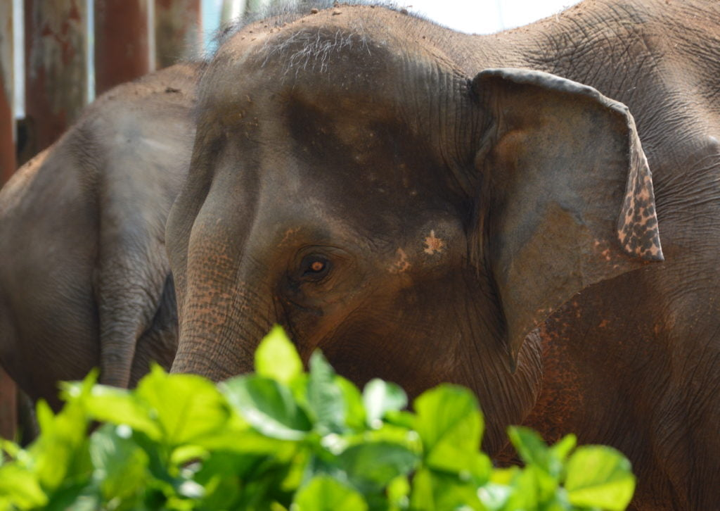 An Asian elephant in the zoo