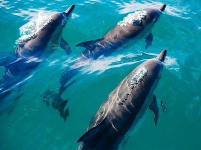 Image © Pablo Heimplatz on Unsplash, a group of dolphins swimming in the sea