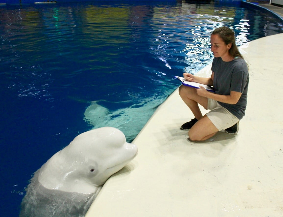 Image © Beluga Whale Sanctuary, a marine mammal expert carrying out observations on two captive beluga whales