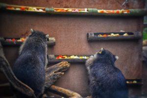 Raccoon feeder