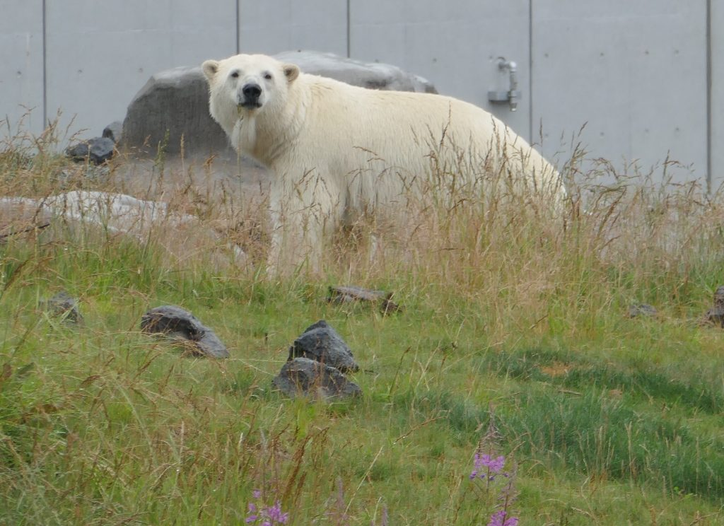 a polar bear walking through its zoo enclosure