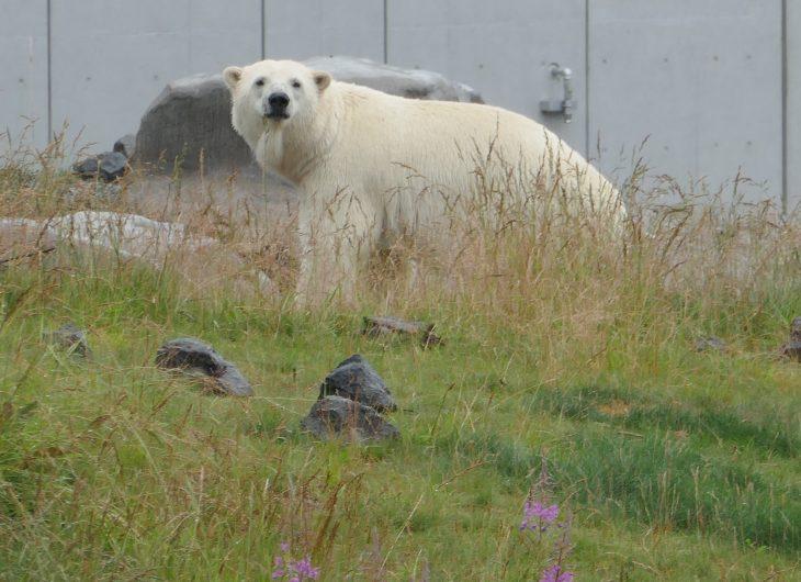 a polar bear walking through its zoo enclosure