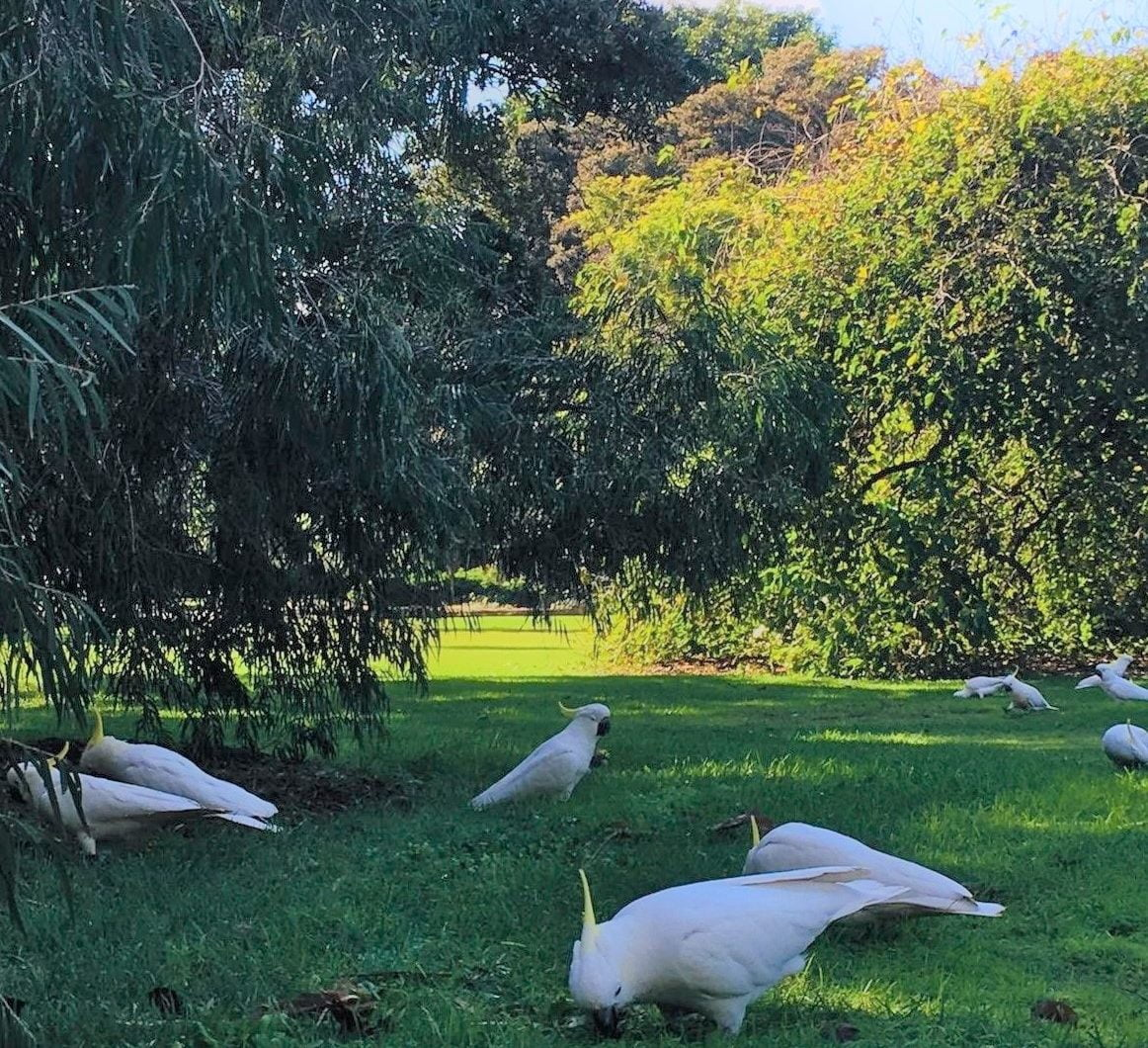 sulpher-crested cockatoos grazing on grass in a park