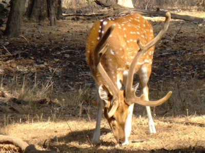 An Indian spotted deer eating grass