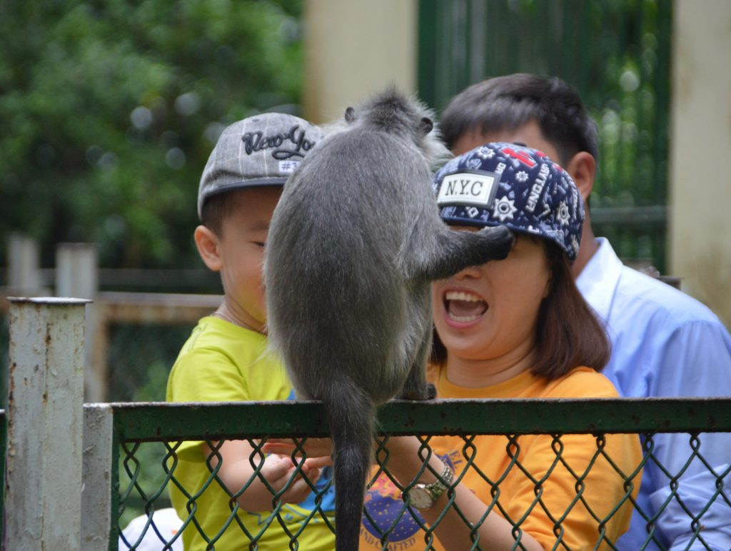 A free-ranging monkey in a zoo being fed by visitors