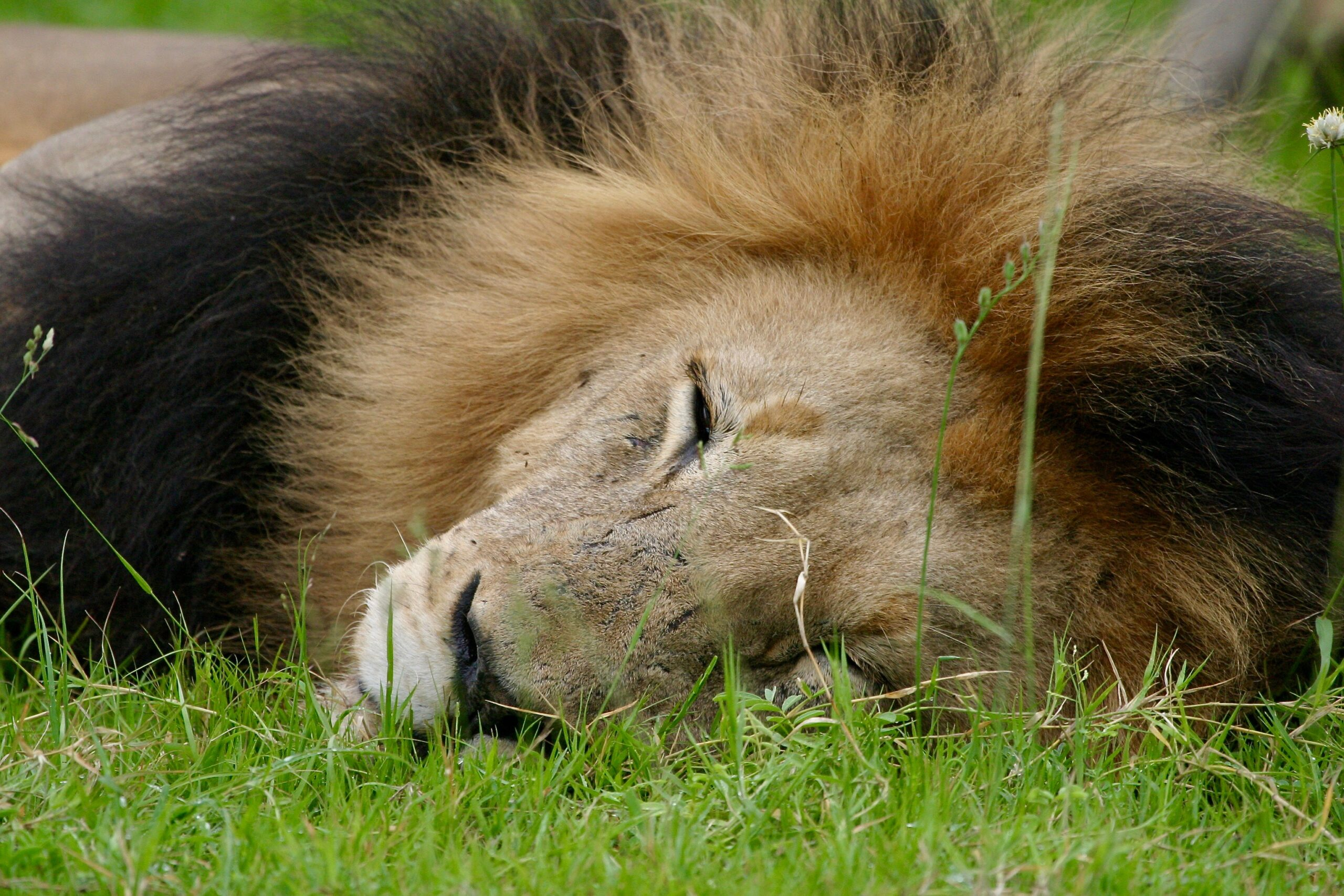 Lion laying in grass © Pippa Hankinson. Blood Lions