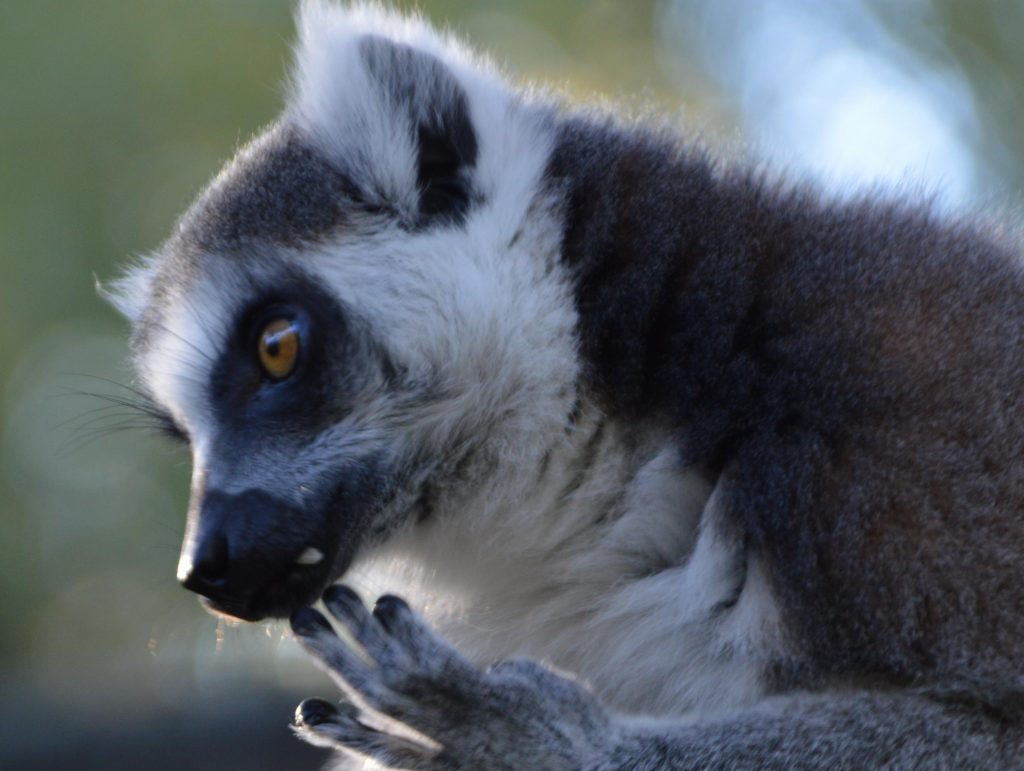 A ring-tailed lemur licking its fingers